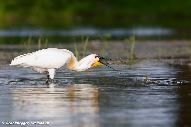 Ornitour visit to DanubeDelta