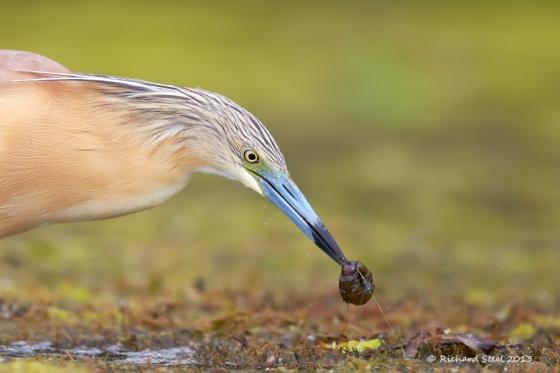 Squacco Heron 2013 RO 106