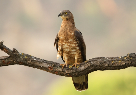 Honey Buzzard Guy Broom