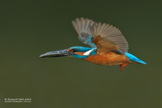 kingfisher18-05-201407v2