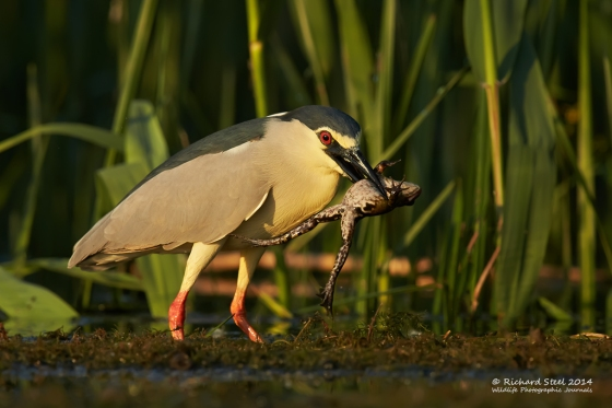 Night Heron 18-05-201480