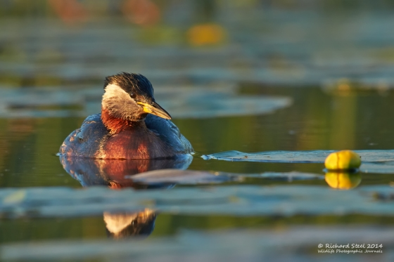 Red necked grebe 052014013