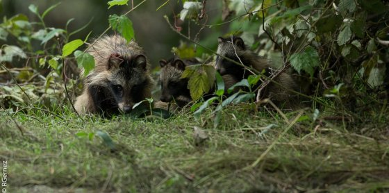 Raccoon Dog familly