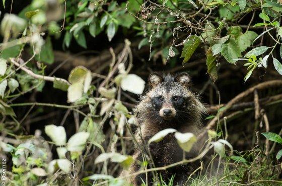 Famale Raccoon Dog