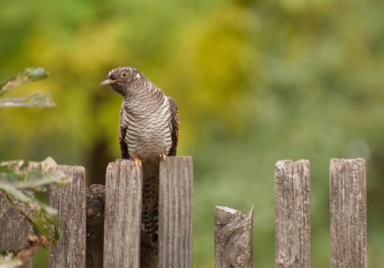 cuckoo web
