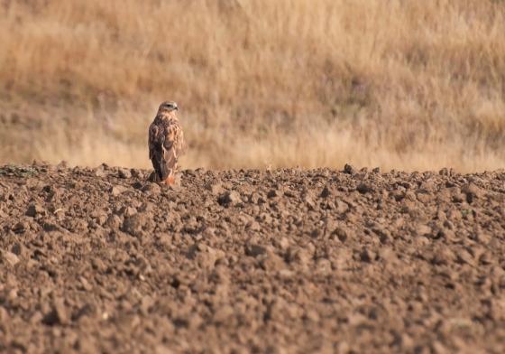 long-legged buzzard2