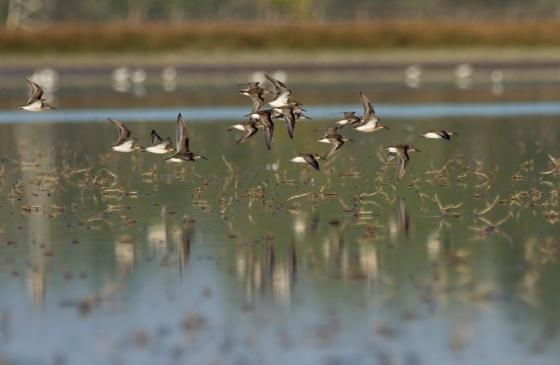 Broad-billed sandpiper, Danube Delta