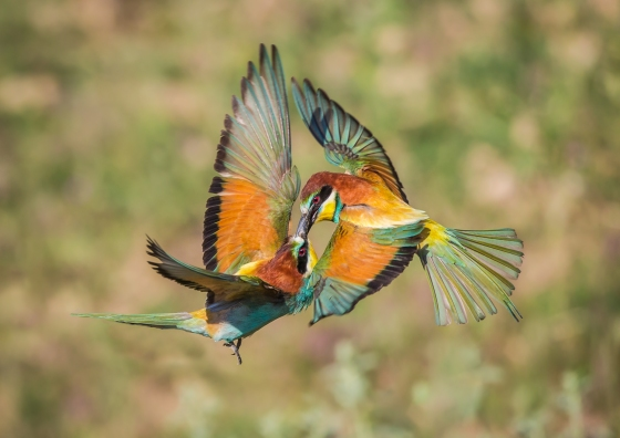 Beeeaters Mid-Air Conor Molloy