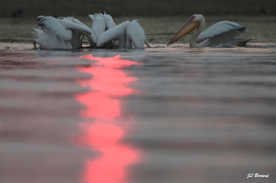 pelicans_backlit_JeanLouisBerrard