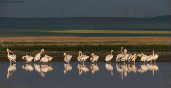 white pelicans_Joan_Buixareu