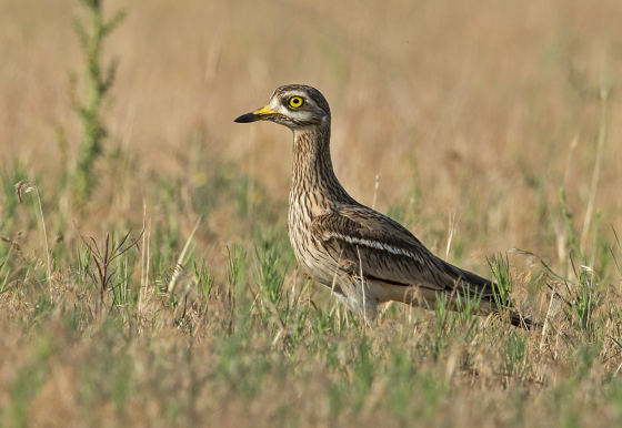 Stone_Curlew