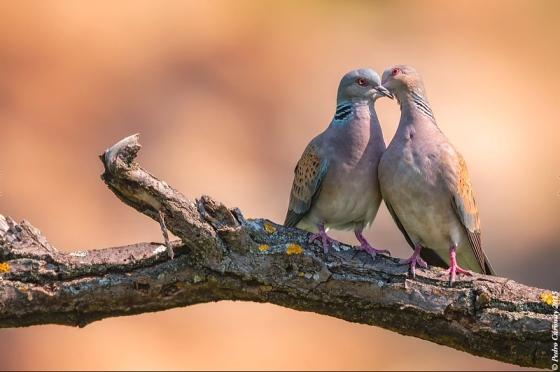 turtle_doves_inlove_Pedro_Curonisy