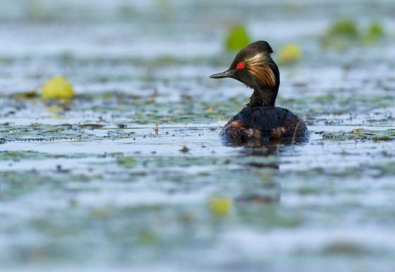 black-necked-grebe-bz