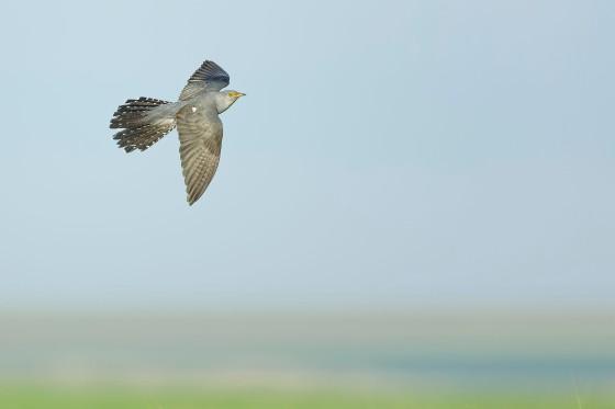cuckoo-klaus-schwind