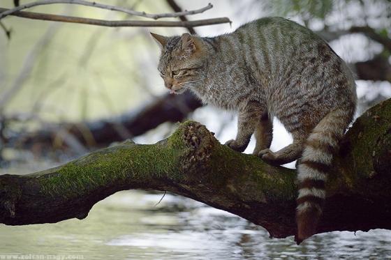 Wild Cat by ZGN