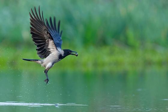 hooded-crow-500px_saker