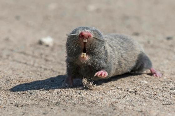 Mole-rat