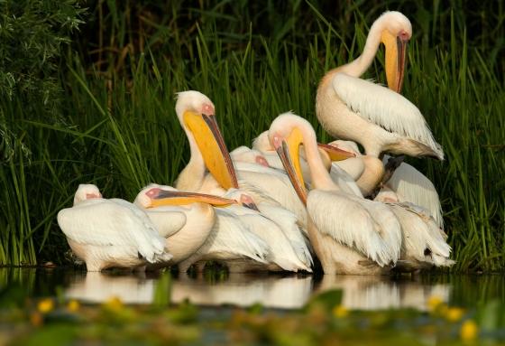Pelican siesta