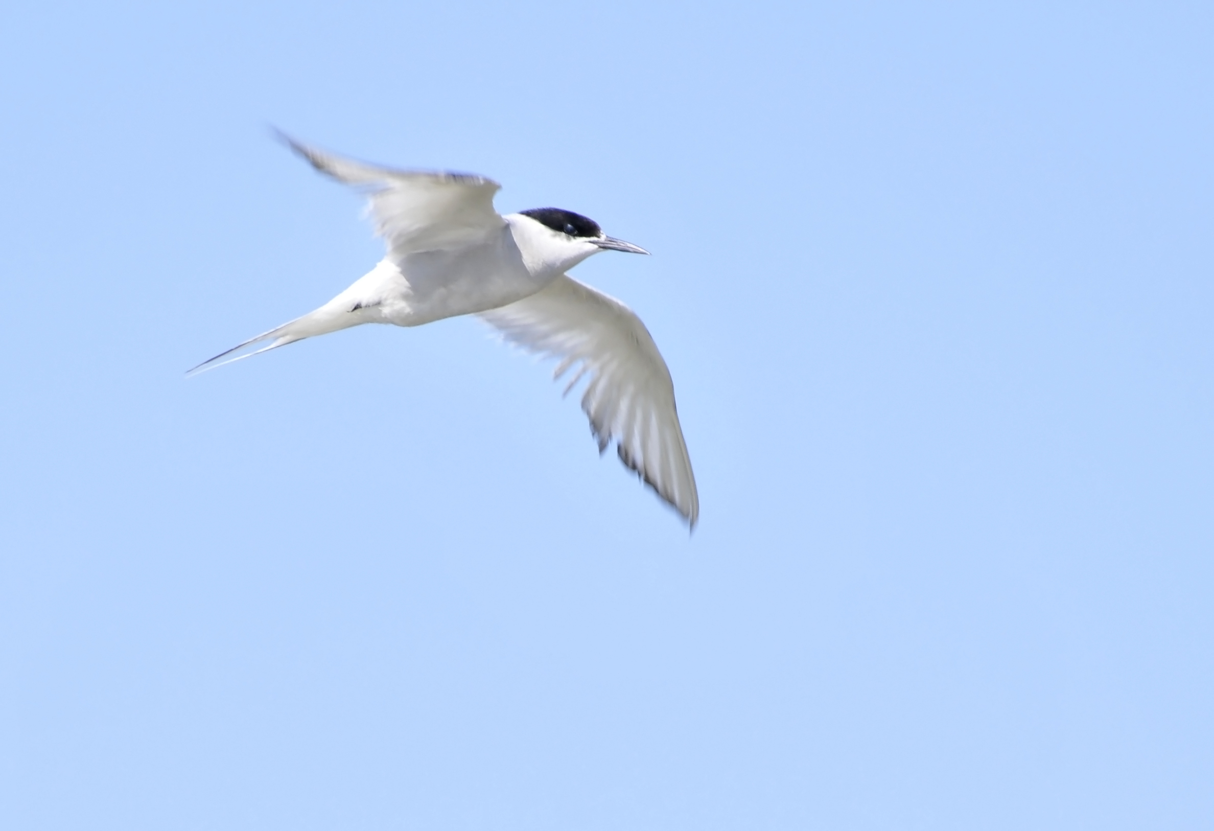A putative Arctic Tern or `eastern` Common Tern ?