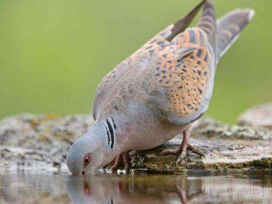 turtle-dove