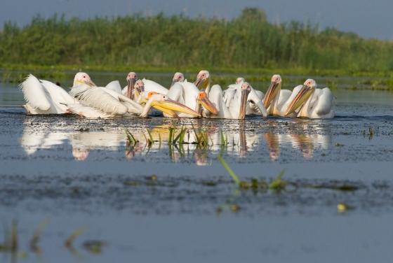 white-pelicans3-bz