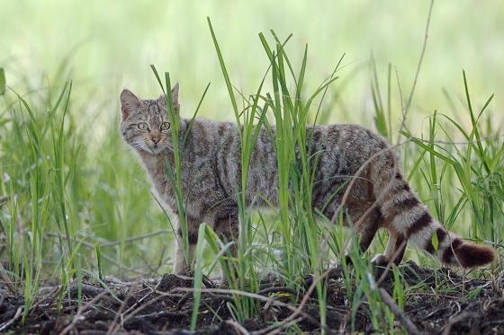 wild_cat_ZGN