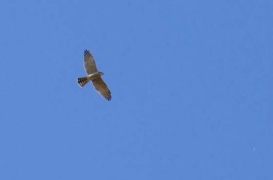 levant-sparrowhawk