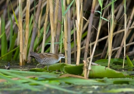 little-crake