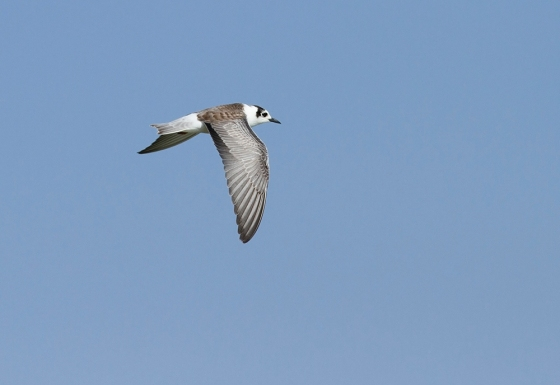 whitewinged-black-tern